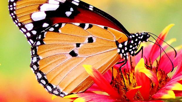 Butterfly1.1