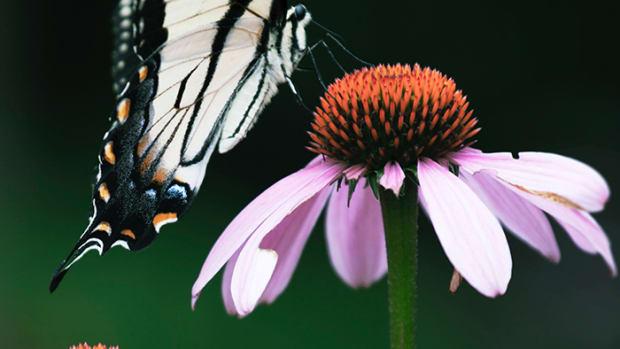 ButterflyFlower1.1